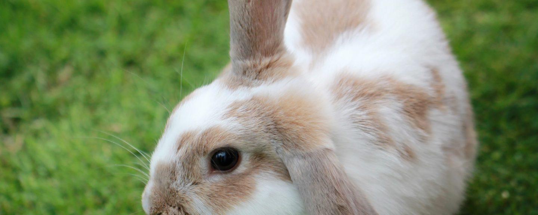 Kanin på gräsmatta